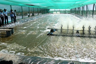 Following the hi-tech shrimp farming model, farmer Lê Anh Xuân keeps one-month-old shrimps in netted areas before releasing them into open-air ponds.- VNA/VNS Photo Huỳnh Sử