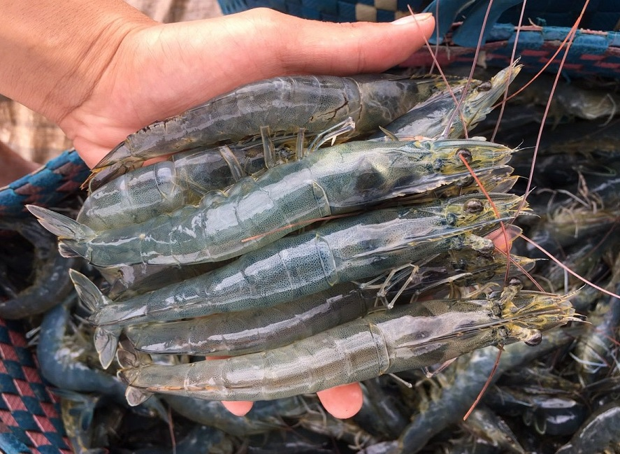 Best Quality White-leg Shrimps from Vietnam